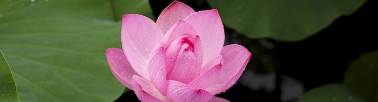 Lotus Flower The Meaning Behind It Ahm Lifestyle Blog